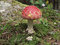 Free Fly Agaric Fruiting Body Royalty Free Stock Photos - 27441228