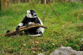 Free Black And White Ruffed Lemur Stock Photography - 27453032