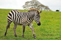 Free A Lonely Zebra Royalty Free Stock Images - 27453449