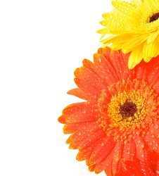 Free Yellow And Orange Gerbera Flowers Royalty Free Stock Images - 27450389