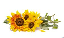 Free Bunch Of Perfect Sunflowers Royalty Free Stock Images - 27450399