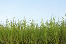 Free Rice Fields Stock Photo - 27451550