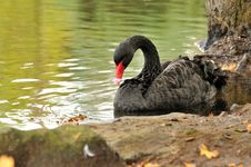 Free A Black Swan By The Shore Stock Images - 27453184