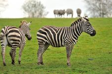 Free Two Zebras With A Herd In The Background Royalty Free Stock Photo - 27453265