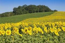 Free Sunflowers In Sunshine Stock Photography - 27453562