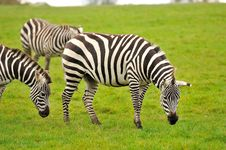 Free A Group Of Zebras Stock Photo - 27453570