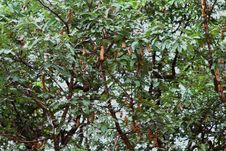 Free Tamarind Tree Stock Photo - 27454280