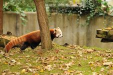 Free Red Panda Stock Images - 27455044