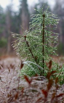 Pine Branch In Icicles Royalty Free Stock Photography