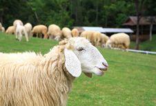 Free Sheep Royalty Free Stock Image - 27458046
