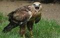 Free Bird Of Prey Royalty Free Stock Photos - 27462258