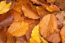 Free Beech Leaves Stock Photo - 27460990