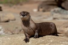 Free Otter Stock Images - 27464854