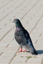 Free Lonely Pigeon Standing On A Claw In Paved Street Stock Photo - 27471080