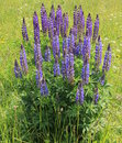 Free Lupin &x28;Lupinus Polyphyllus&x29; Blossom Royalty Free Stock Photography - 27473957