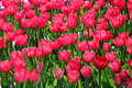 Free Bright Red Tulips Royalty Free Stock Photo - 27478575