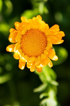 Free Orange Flower On A Green Royalty Free Stock Images - 27471049