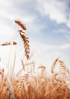Free Golden Wheat Ear On A Blue Sky Royalty Free Stock Photo - 27471315
