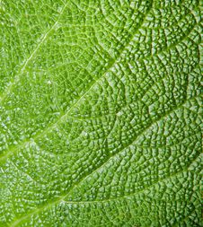 Free Texture Of A Green Leaf Royalty Free Stock Image - 27471766