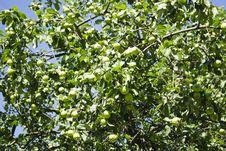 Free Apple Tree Stock Photography - 27472452