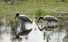 Storks Feeding Royalty Free Stock Image