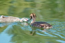Free Great Crested Grebe While Cue Her Chick Royalty Free Stock Image - 27476346