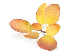 Free Branch With Autumn Leaves Stock Image - 27478051