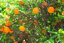 Free Orange Tree Royalty Free Stock Images - 27479389