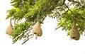 Free Baya Weaver Bird Nest Stock Photo - 27486630