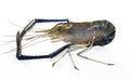 Free Giant Freshwater Prawn Royalty Free Stock Images - 27487319