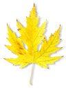 Free Autumn Maple Leaf Royalty Free Stock Photo - 27488465