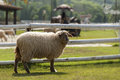 Free Lonely Sheep Standing Near The Fence Of Farm Royalty Free Stock Photo - 27488495