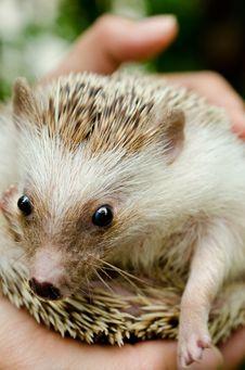 Free African Pygmy Hedgehog Stock Photo - 27484420