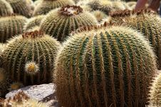 Free Echinocactus Royalty Free Stock Images - 27487109