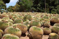 Free Echinocactus Royalty Free Stock Images - 27487419