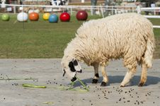 Free Sheep Eating Grass In The Farm Royalty Free Stock Images - 27488439
