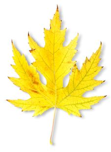Free Autumn Maple Leaf Royalty Free Stock Photo - 27488465
