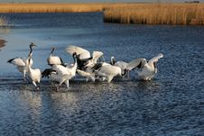 Free Lake Red-crowned Crane Royalty Free Stock Images - 27489049