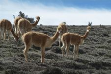 Free Guanaco Stock Photography - 27489832