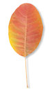 Free Autumn Leaf Royalty Free Stock Image - 27496356