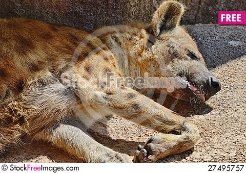 Free Hyena Royalty Free Stock Photography - 27495757
