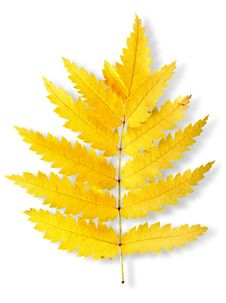 Autumn Leaf Of A Mountain Ash Royalty Free Stock Images