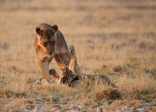 Lioness  Playing With Cub Stock Photography
