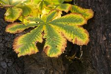 Free Chestnut Leaf Stock Photography - 27495072