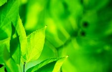 Free Green Leaves Royalty Free Stock Photo - 27497045