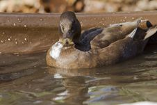 Free Mini Duck Stock Photos - 27499123