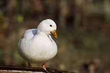 Free Mini Duck Stock Image - 27499131