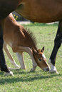 Free Foal Royalty Free Stock Image - 2750546