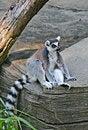 Free Lemur Stock Photography - 2750932