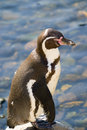Free A Standing Humboldt Penguin Stock Photography - 2752952